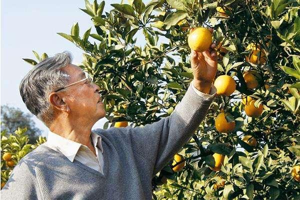 褚时健在他的果园!